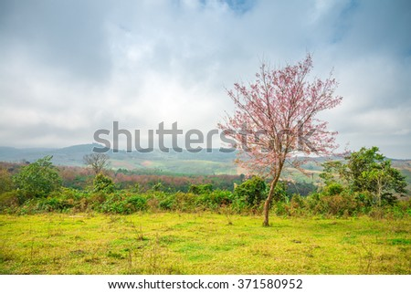 Beautiful cherry Blossom tree on the mountain, Thailand