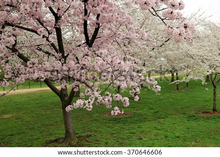 Beautiful cherry blossoms in the spring in Washington, DC - stock photo