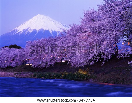 Beautiful cherry blossoms with snow-capped Mount Fuji in evening - stock photo