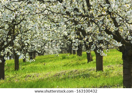 beautiful cherry orchard at springtime