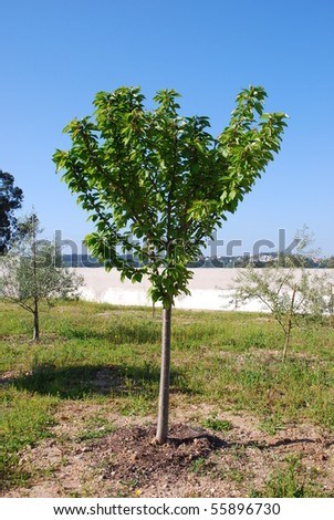 beautiful cherry tree and olive trees at the background (blue sky) - stock photo
