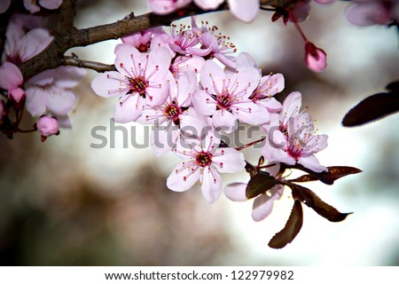 Beautiful cherry tree blossom in the spring - stock photo