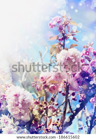 Beautiful cherry tree flowers, Pink bloom, spring flowers background, Spring Cherry blossoms - stock photo