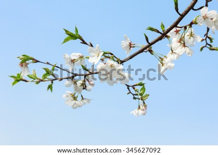 Beautiful Cherry Tree in Blossom on Blue Sky Background - stock photo