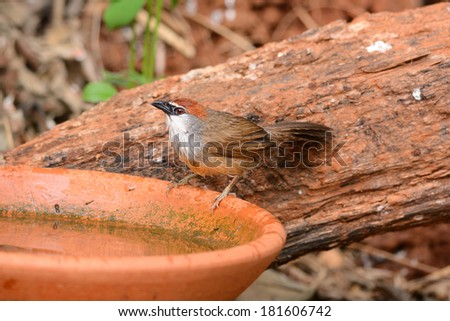 beautiful Chestnut-capped Babbler (Timalia pileata) resting on log in forest of Thailand