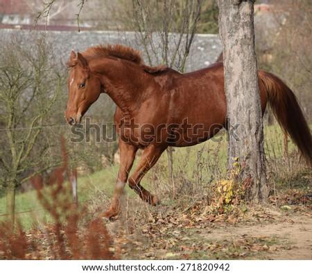Beautiful chestnut horse running alone in autumn - stock photo