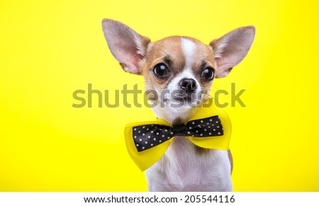 Beautiful chihuahua dog. Animal portrait. Stylish photo. Yellow background - stock photo