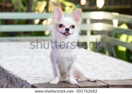 Beautiful chihuahua dog, On the table, Image select focus - stock photo