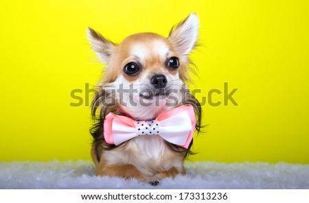 Beautiful chihuahua dog with bow-tie. Animal portrait. Chihuahua dog in stylish clothes. Yellow background. Colorful decorations. Collection of funny animals