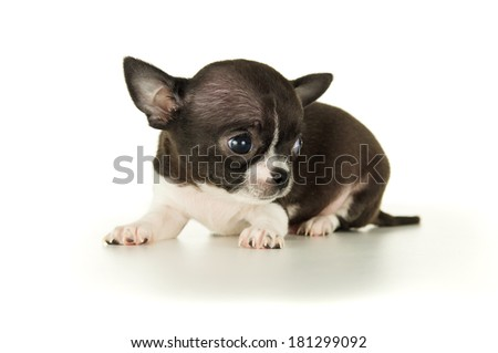 Beautiful Chihuahua puppy isolated on white background - stock photo