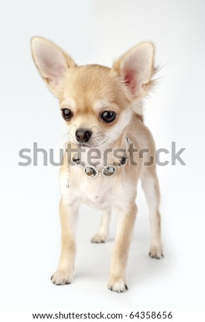 beautiful chihuahua puppy with necklace standing on neutral background - stock photo