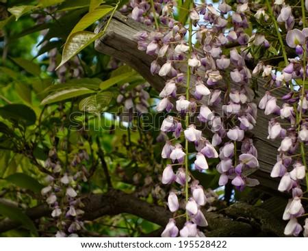 Beautiful Chinese Wisteria vines (Wisteria sinensis) hanging from pergola - stock photo
