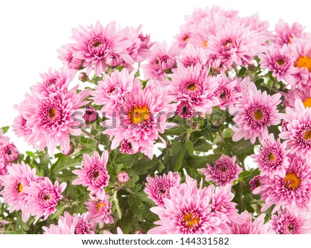 Beautiful  chrysanthemum flower (autumn vivid background)