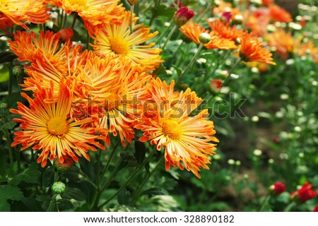 Beautiful chrysanthemum flowers, close-up, outdoors - stock photo