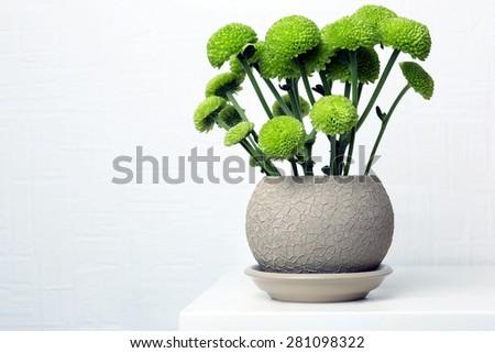 Beautiful chrysanthemum in pot on light background - stock photo