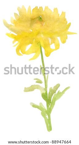 beautiful chrysanthemum isolated on white. watercolor - stock photo