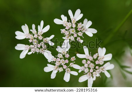 Beautiful cilantro coriander flower blooming in the summer - stock photo
