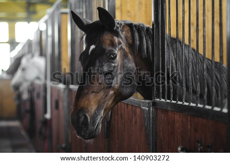 Beautiful Close Portrait of Brown Horse in Stables - stock photo
