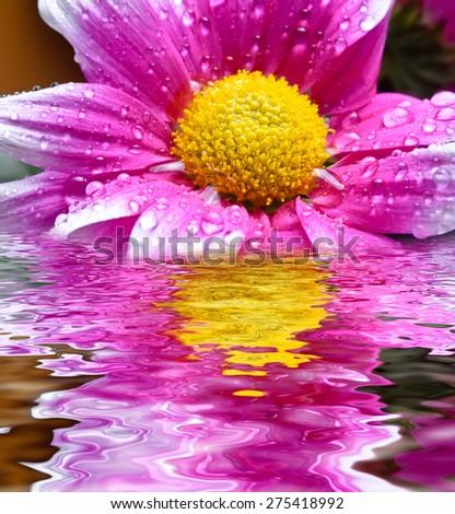 beautiful close up daisy gerbera  - stock photo