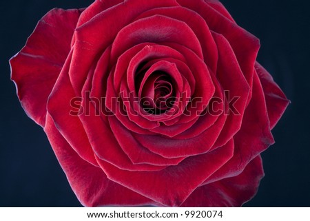 Beautiful close-up of a single red rose blossom - stock photo