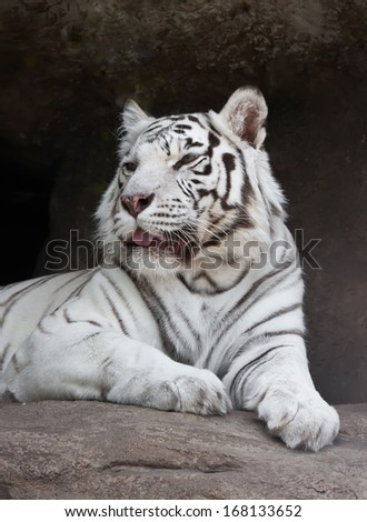Beautiful close-up portrait of majestic White Tiger
