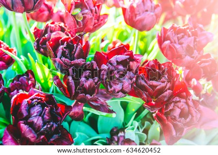 Beautiful closeup image of burgundy double late tulips, are also known as peony-flowered tulips,   in the light of the sun. Istanbul Tulip Festival, Turkey.