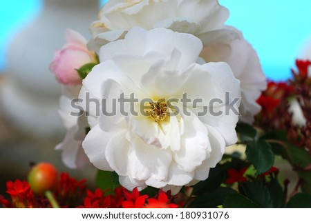 Beautiful closeup of a white rose in full bloom. This flower is perfect to illustrate concepts of tenderness, delicate thoughts, wishes and other vivid concepts that only a rose can convey. - stock photo