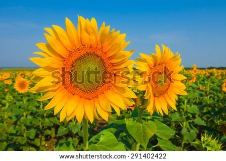 beautiful closeup sunflowers - stock photo