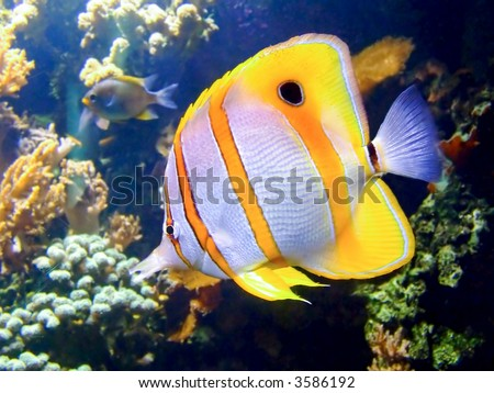 Beautiful clownfish in the tropical coral reef - stock photo