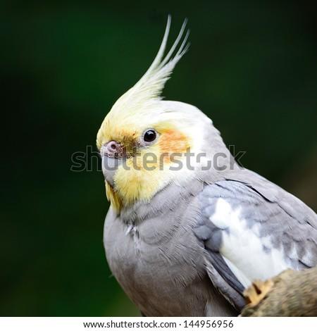 Beautiful Cockatiel (Nymphicus hollandicus), closeup head profile - stock photo