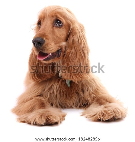 Beautiful cocker spaniel isolated on white - stock photo