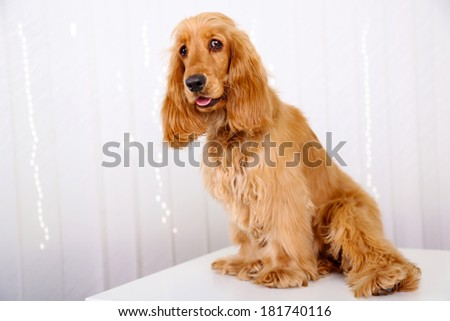 Beautiful cocker spaniel on white background