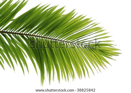 Beautiful coconut tree leaf on beach - stock photo