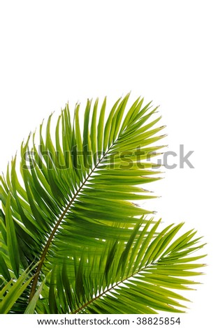Beautiful coconut tree leaves on beach - stock photo