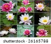 Beautiful collage of water lilies from nine photos - stock photo