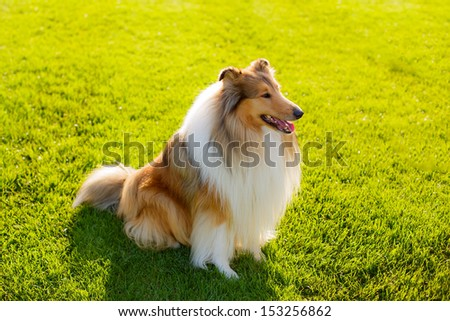 beautiful collie dog on the nature - stock photo