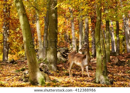 Beautiful color background of autumn nature in the woods with wild deer. Fallow deer, (Dama dama) - stock photo