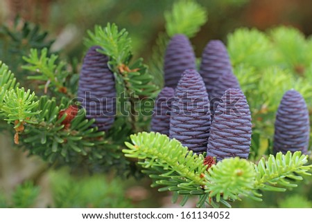 Beautiful color Christmas Korean Fir cone on green branches  - stock photo
