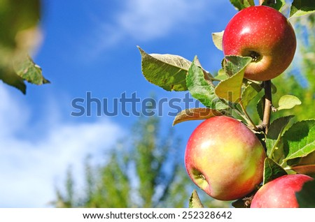 Beautiful color fresh apples standing on a branch of the tree in the orchard against the sky close-up (postcard - concept) - stock photo