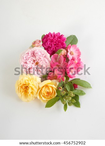 Beautiful color of English rose blooming on white background