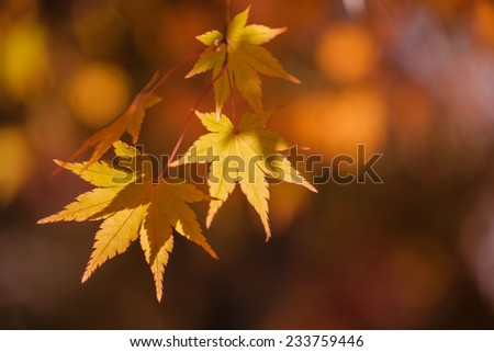 Beautiful colored leaves of Japanese maple at fall, also known as Momiji or Acer palmatum  - stock photo