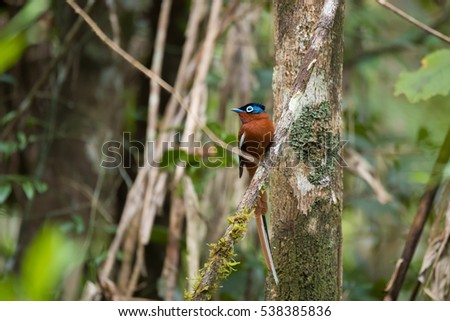 Beautiful colored Madagascar bird, Paradise-flycatcher, Terpsiphone mutata.  Andasibe - Analamazaotra National Park, Madagascar wildlife and wilderness