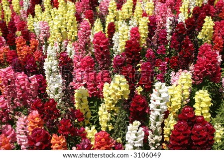 beautiful colored snapdragon flowers in a garden