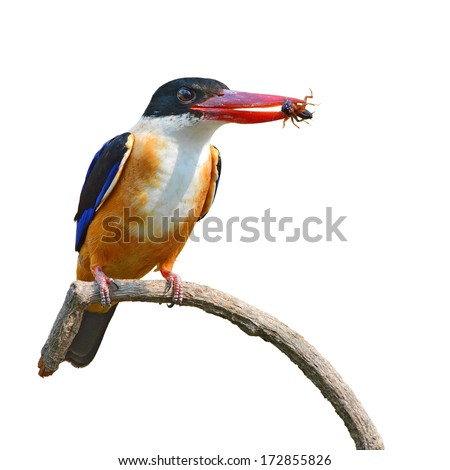 beautiful Colorful Bird (Black-capped Kingfisher, Halcyon pileata) perching on a branch, white background