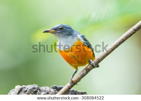 Beautiful colorful bird (Orange-bellied Flowerpecker) perching on a branch. - stock photo