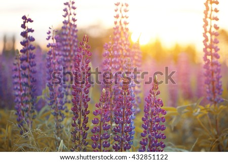 Beautiful colorful blooming lupine flower on blure green background. Ladybug on blue lupine flower commonly known as lupin or lupine. Sunset is in the flower field - stock photo