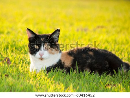 Beautiful, colorful calico cat in grass in bright sunshine - stock photo