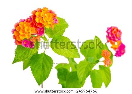 beautiful colorful Lantana camara flower is isolated on white background - stock photo