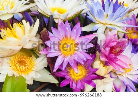 Beautiful colorful lotus flowers stock photo edit now 696266188 beautiful colorful lotus flowers mightylinksfo