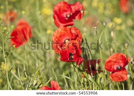 beautiful colorful meadow with poppy flowers in detail